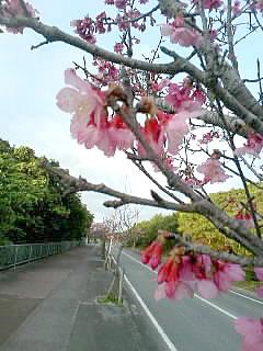 冬の沖縄といえばやっぱり「桜〜♪」