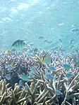 パナリ沖の珊瑚