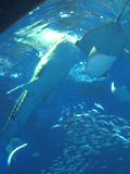 ジンベイザメの餌やり