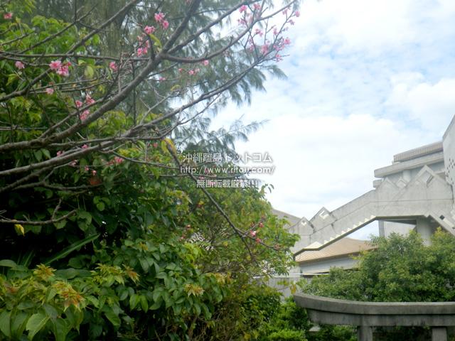 奥武山公園の武道館近くの桜の木は1毛咲き?
