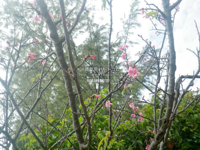 奥武山公園は皆無じゃないけど少ない桜の花
