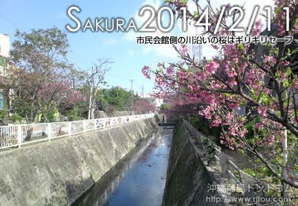 市民会館側の川沿いの桜はギリギリセーフ