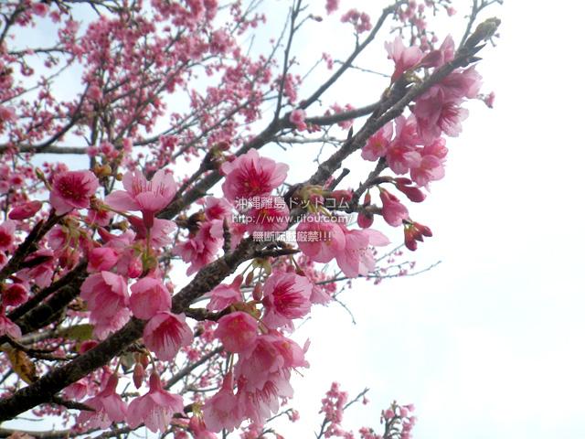 2017年2月18日の繁多川/識名界隈の桜