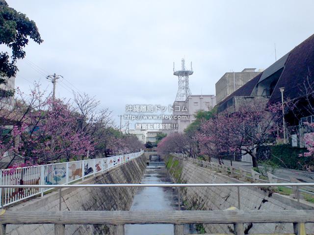 公民館裏・図書館前の桜並木=平均的な開花時期の桜(2017/02/23)