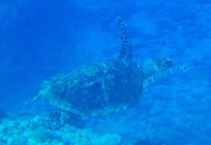 離島のウミガメ