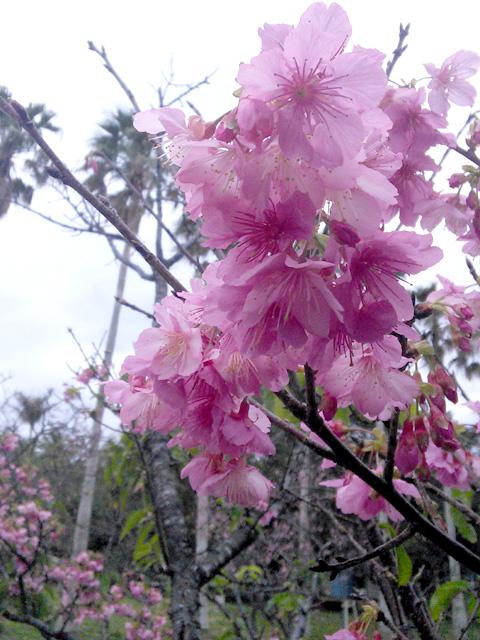 与儀公園の桜2015年2月初旬