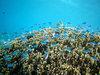 安慶名敷島の写真「珊瑚礁に群がるスズメダイ」