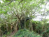 加計呂麻島「武名ガジュマル」