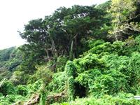 喜界島「夫婦ガジュマル」