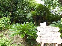 喜界島「ソテツ巨木」