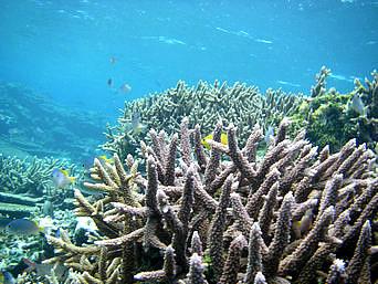 宮古列島 八重干瀬の八重干瀬の枝珊瑚の写真 枝サンゴの中には小魚がいっぱいです ▼八重干瀬の枝珊