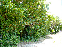 与路島「サガリバナ並木」