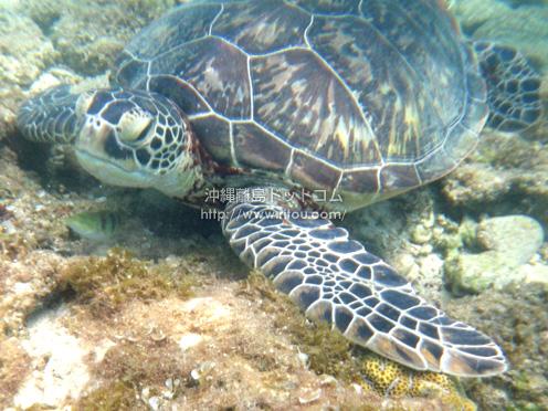 【阿嘉島】やっと会えた。阿嘉ビーチのウミガメ