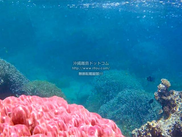 ピンク色の珊瑚礁