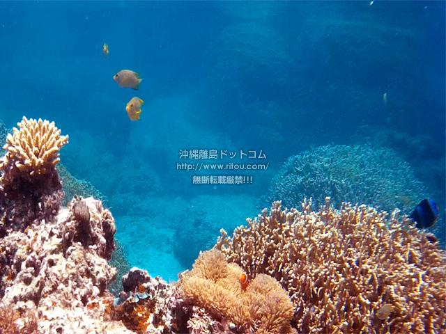 珊瑚とクマノミ