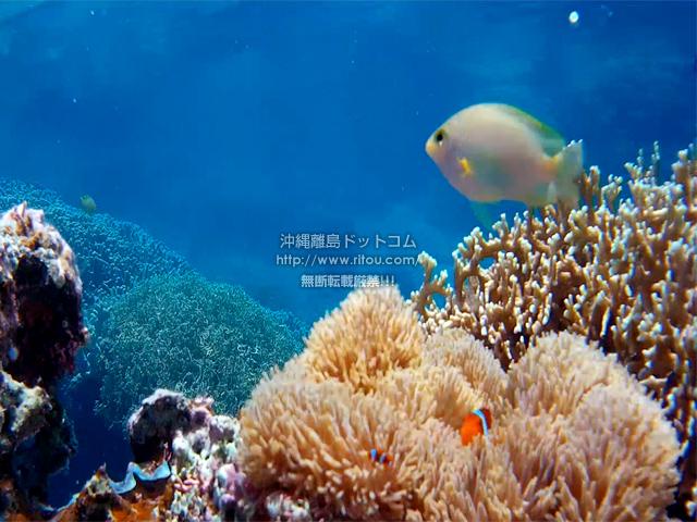 カクレクマノミと熱帯魚