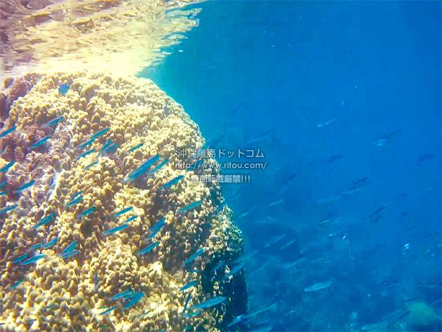 黄色い珊瑚と小魚の大群