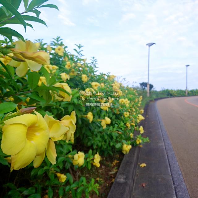 2019/07/21 のアリアケカズラ/アラマンダ