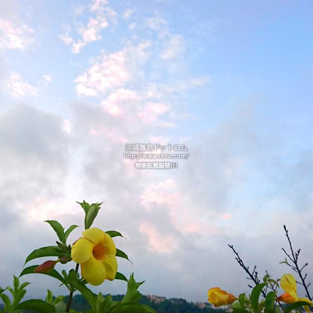 2019/08/12 のアリアケカズラ/アラマンダ