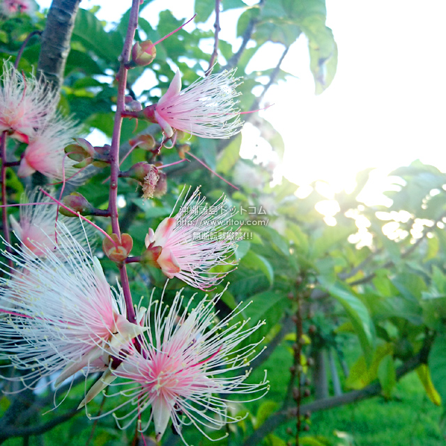 2019/07/31 のサガリバナ/夏の花