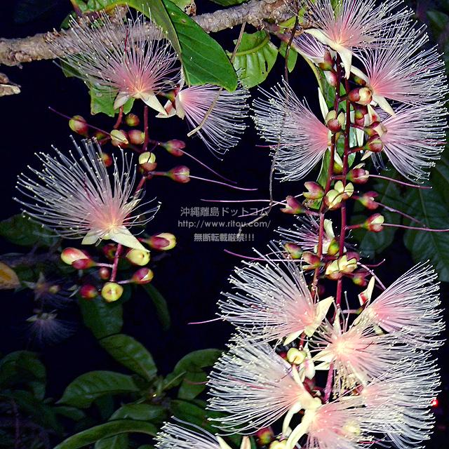 2021/06/21 のサガリバナ/夏の花
