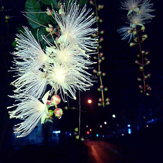 2021/06/22 のサガリバナ/夏の花