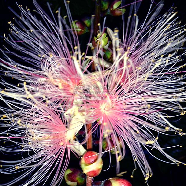 2021/09/14 のサガリバナ/夏の花