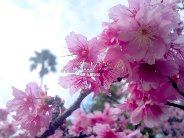 那覇の桜、ようやくここまで!