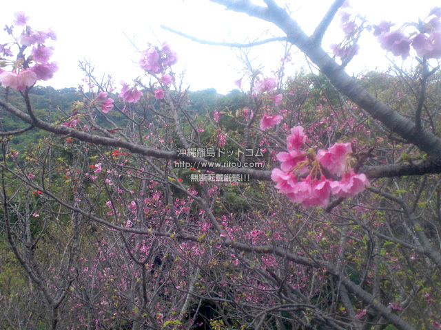 末吉公園の桜はこれが限界?
