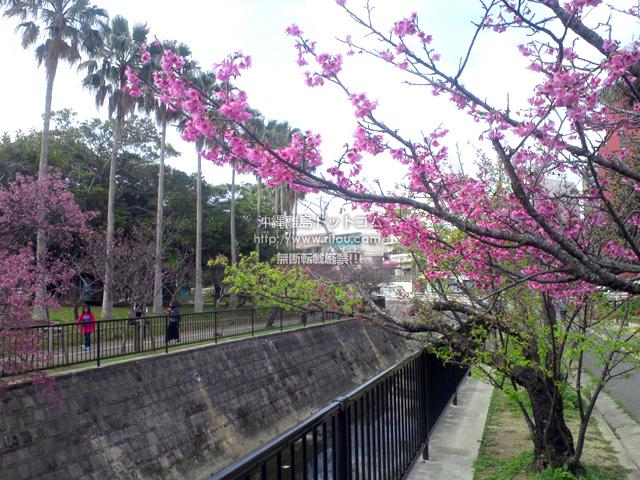 一部で満開、一部で葉桜