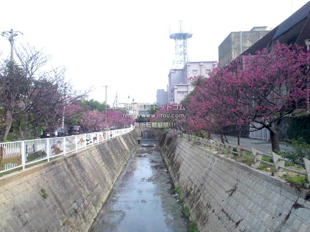 図書館前の桜もイマイチ
