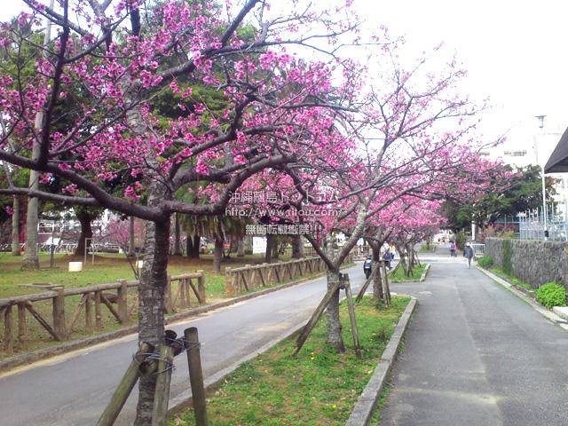 市民会館横・赤十字病院前の桜は見頃!