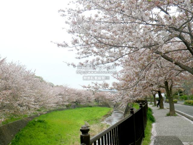 神奈川の桜