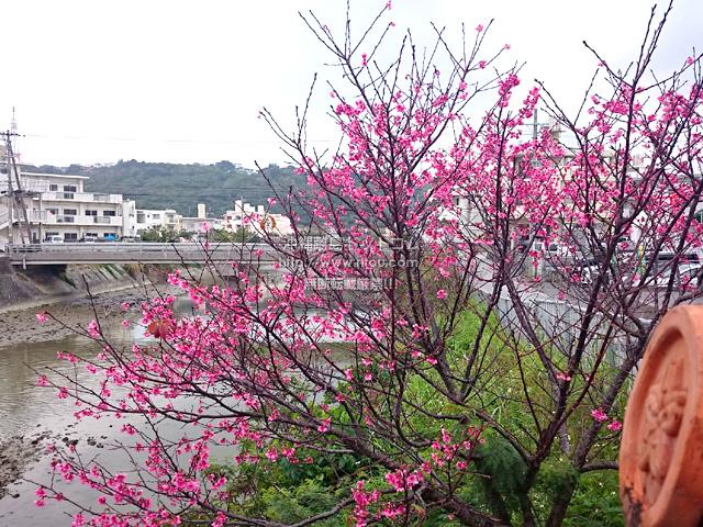 2月11日の桜