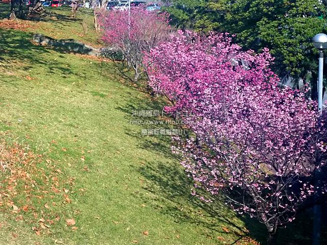 外出中の一コマ「浦添の某公園の桜」