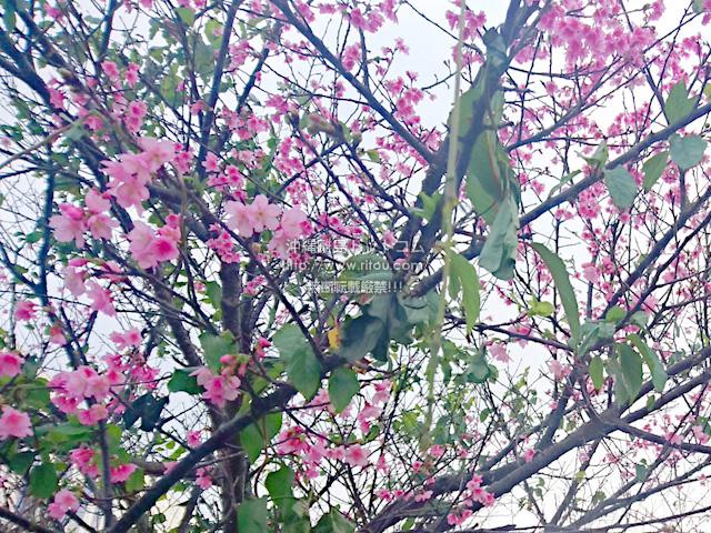 2019/02/20 の桜/カンヒザクラ
