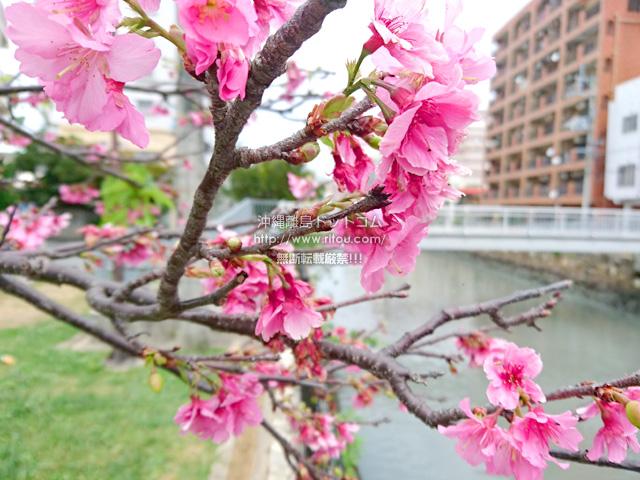 2019/03/22 の桜/カンヒザクラ