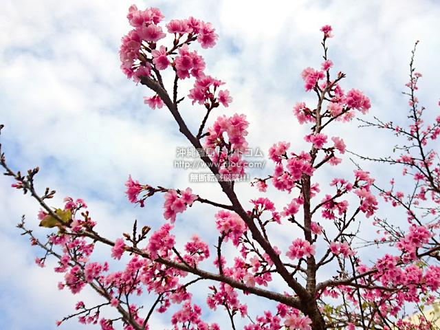 2019/02/18 の桜/カンヒザクラ