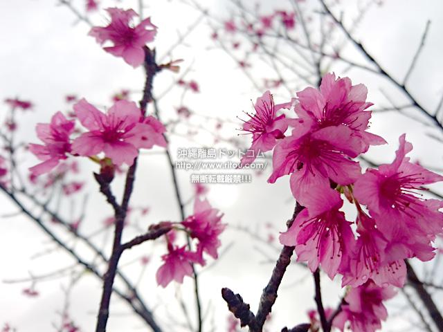 2019/02/28 の桜/カンヒザクラ