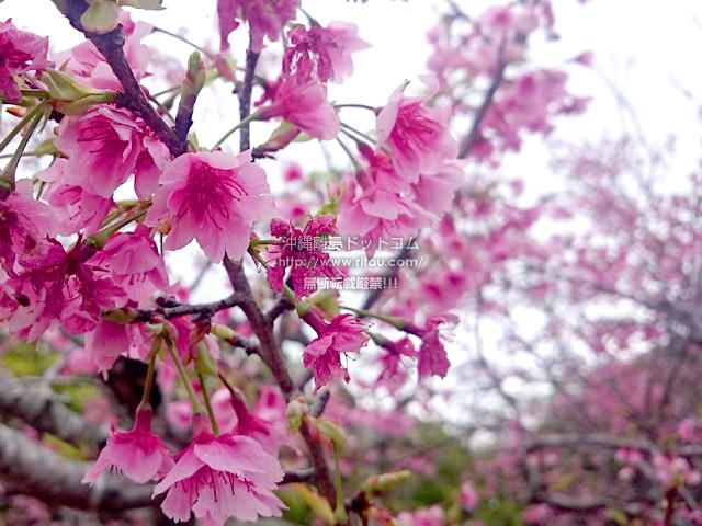 5分〜7分咲きの八重瀬岳の桜
