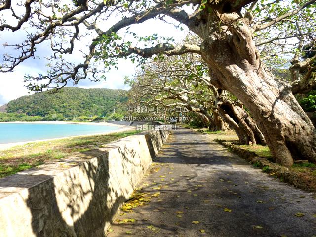 加計呂麻島の諸鈍長浜のディゴの並木
