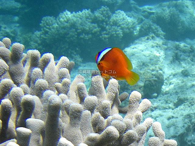 サンゴはクマノミの家?(阿嘉島の壁紙/写真)