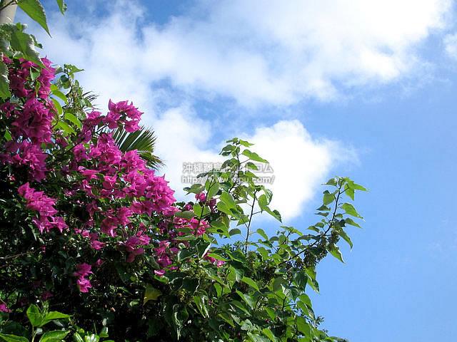 花と緑と白い雲と青い空(与論島の壁紙/写真)
