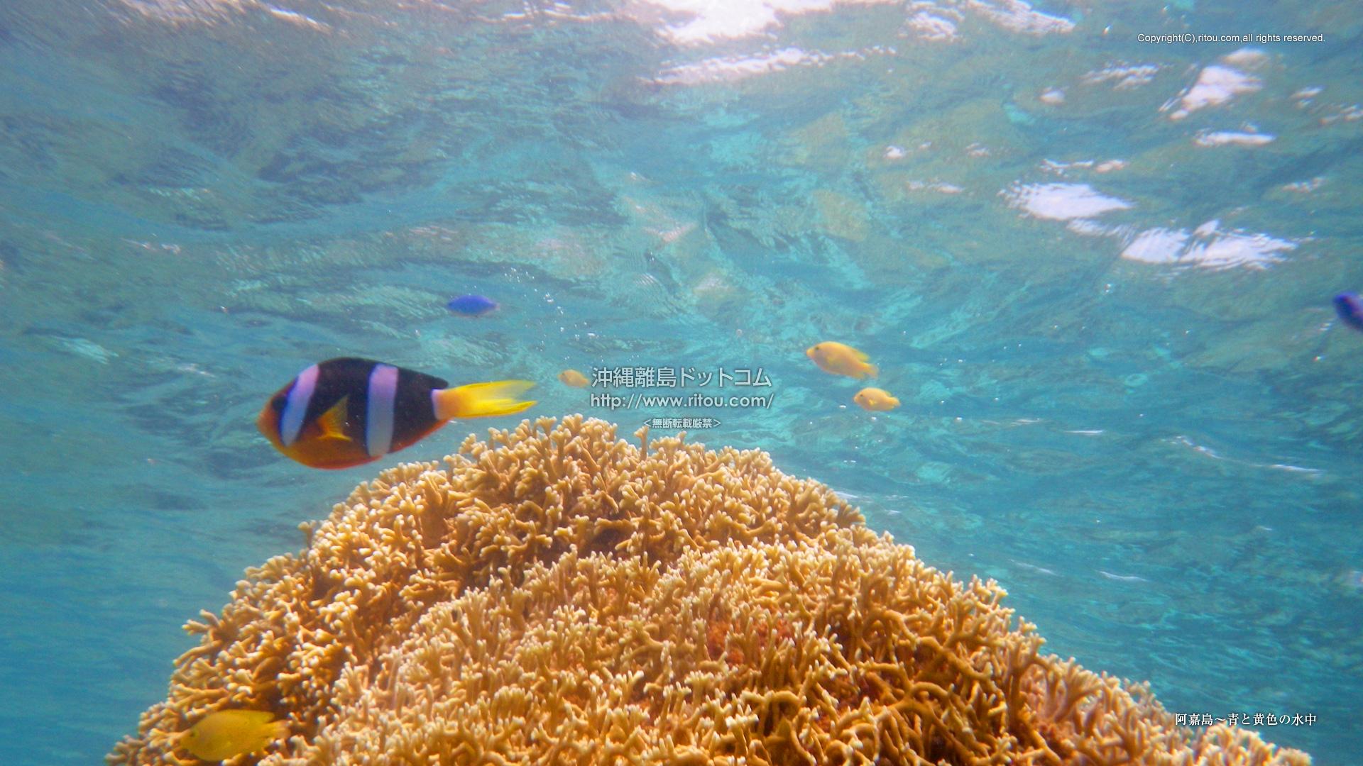 阿嘉島〜青と黄色の水中
