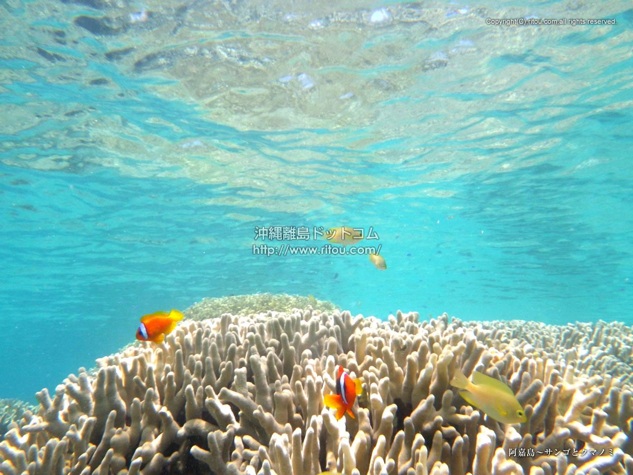 阿嘉島〜サンゴとクマノミ