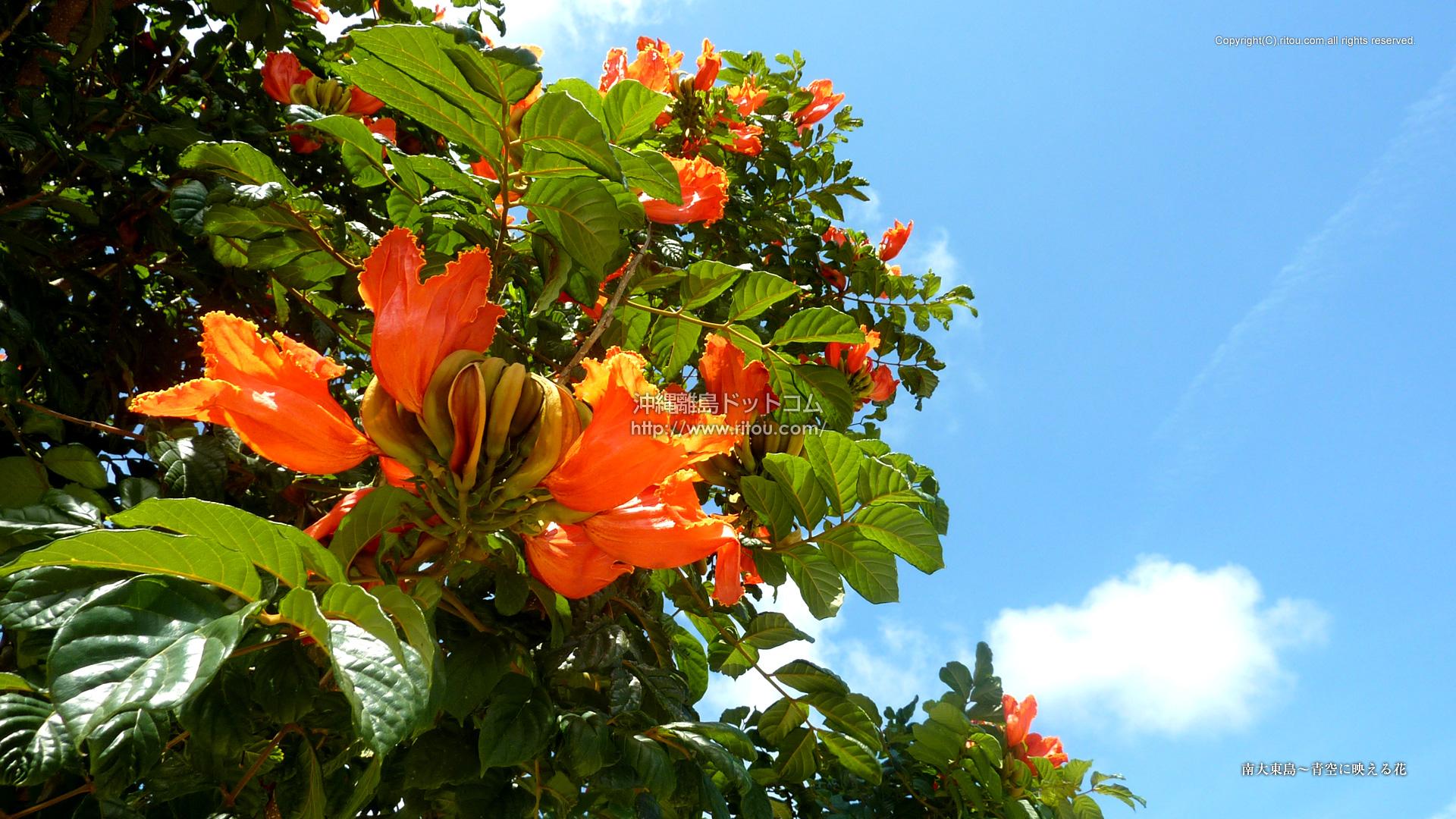 南大東島〜青空に映える花
