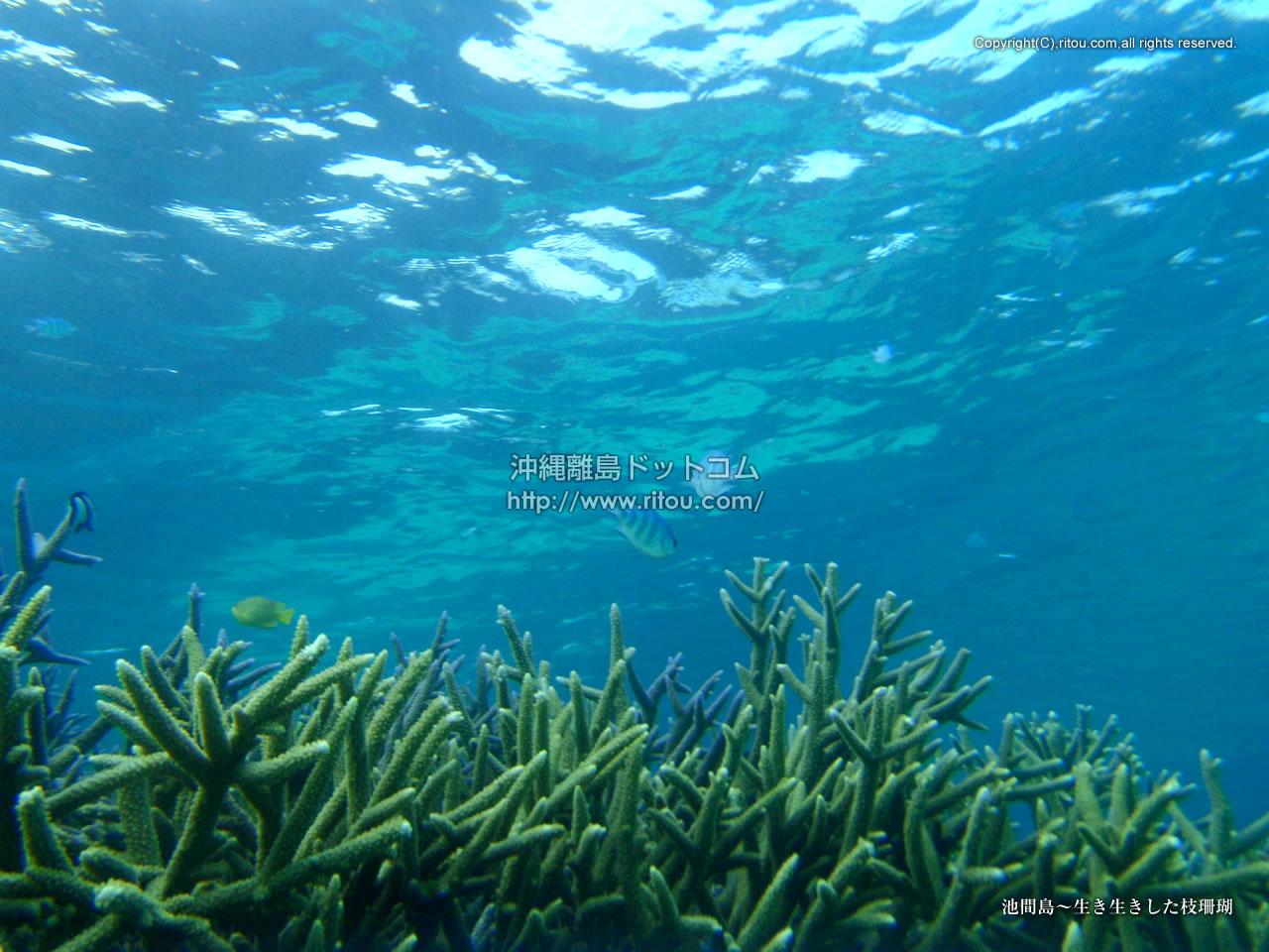 池間島〜生き生きした枝珊瑚