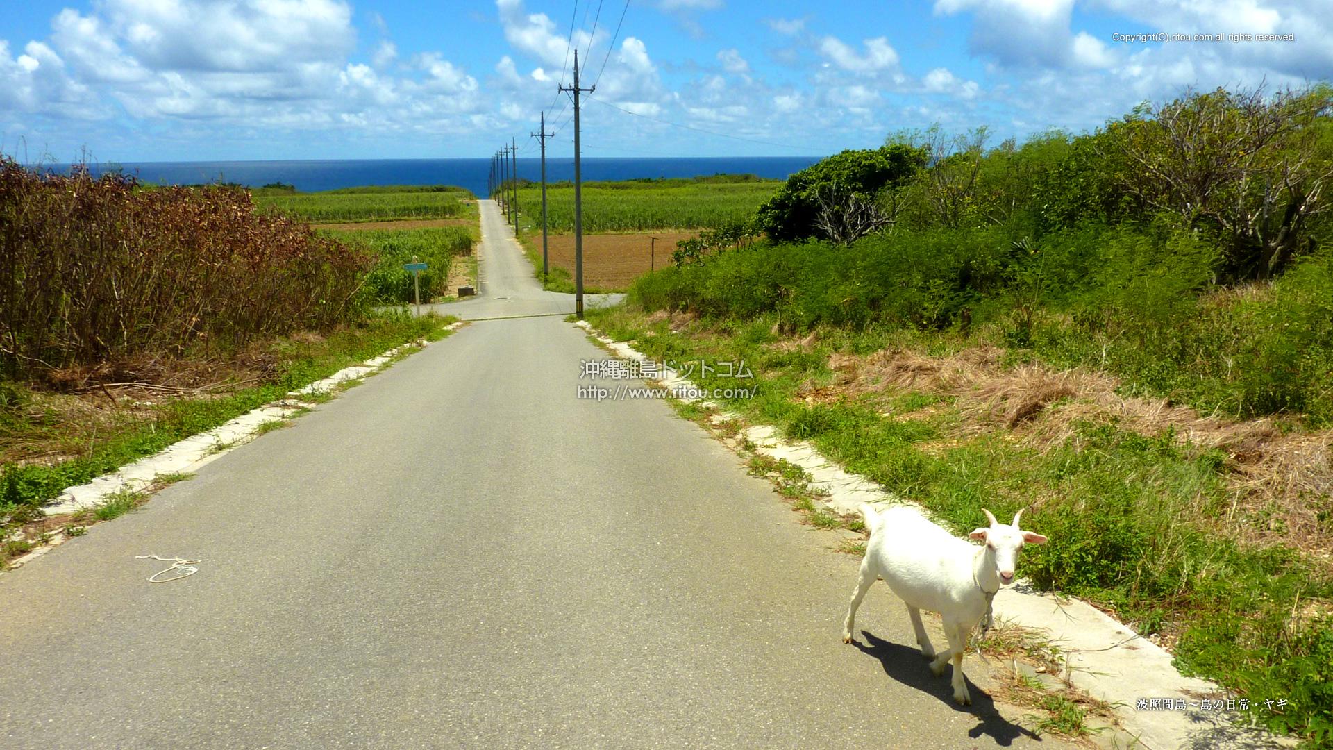 波照間島〜島の日常・ヤギ