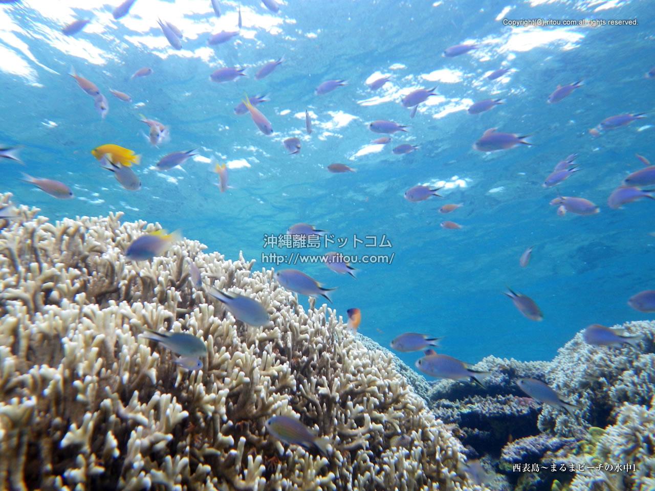 西表島〜まるまビーチの水中1
