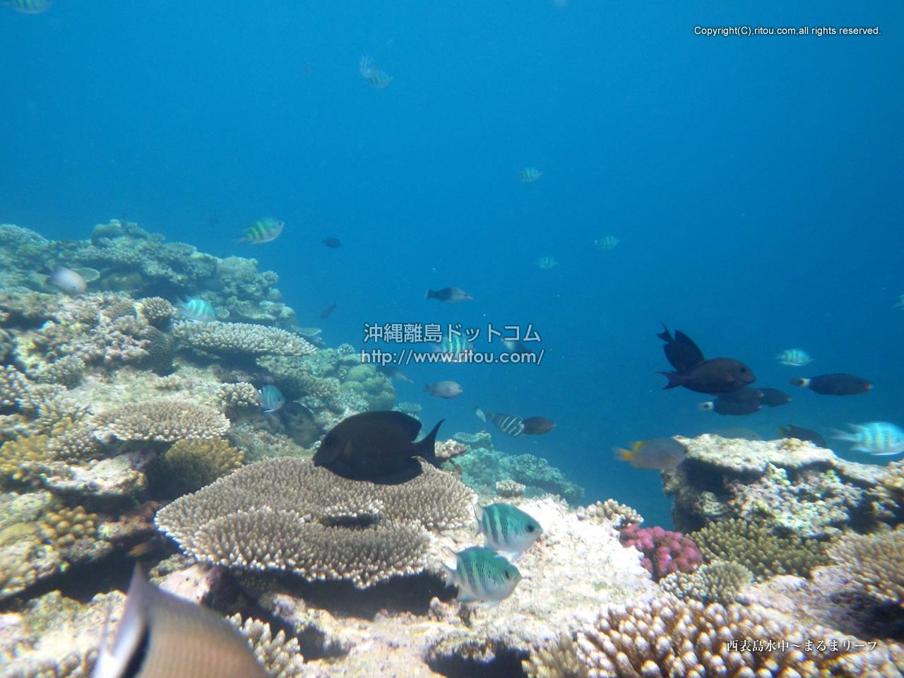 西表島水中〜まるまリーフ